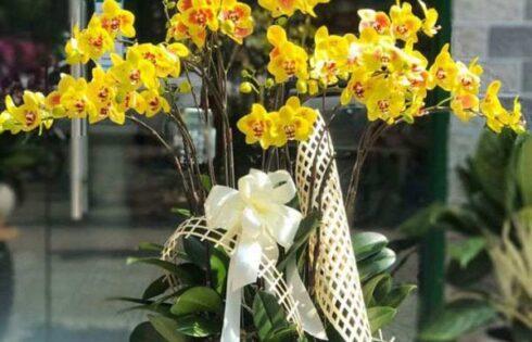 Chậu lan hồ điệp trắng – biểu tượng của may mắn và hy vọng
